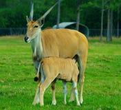 Eland羚羊 免版税图库摄影
