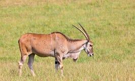 eland非洲羚羊类 图库摄影