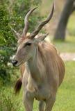 eland антилопы Стоковая Фотография