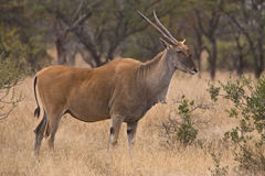 Eland Royalty Free Stock Images