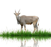 Eland. With green grass isolated Royalty Free Stock Images