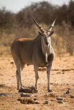 Eland Royalty Free Stock Image
