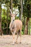 Eland. Antelope - the world's largest antelope Stock Photography