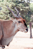 An Eland Royalty Free Stock Photography