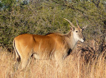 Eland 5 Royalty Free Stock Image