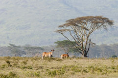 Eland and Acacia, Nakuru, Kenya. Stock Photo
