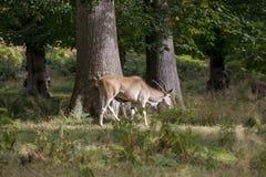 Eland animal Royalty Free Stock Photo