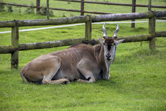 Eland animal Stock Photo