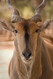 Eland antelope Royalty Free Stock Photo