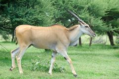 An Eland antelope Royalty Free Stock Photography
