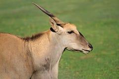Eland antelope. (Tragelaphus oryx) - largest antelope of southern Africa Royalty Free Stock Image