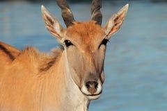 Eland antelope. (Tragelaphus oryx) - largest antelope of southern Africa Stock Images