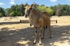 Eland antelope Royalty Free Stock Image