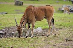 Eland antelope Stock Photo