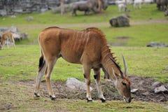 Eland antelope Royalty Free Stock Photography