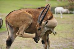 Eland antelope Royalty Free Stock Photo