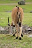 Eland antelope Stock Photos