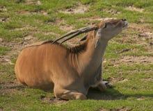 Eland antelope. It is beautiful majestic antelope looking up Royalty Free Stock Photos