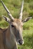 Eland antelope. An antelope ina wild life park in Kent, England Stock Images