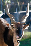 Eland Antelope. In the San Francisco Zoo Royalty Free Stock Images