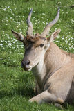 Eland antelope Royalty Free Stock Photos