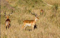 Eland antelope Stock Images