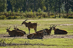 Eland antelope or Common Eland Stock Photos