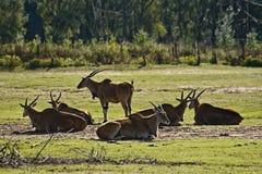 Eland antelope or Common Eland Stock Photos