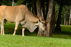 Eland Antelope / Common Eland (Taurotragus Oryx) Stock Photo