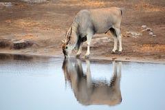 Eland antelope drinking water Royalty Free Stock Image
