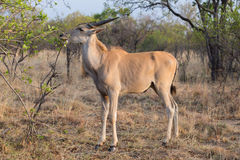 Eland Royalty Free Stock Photography