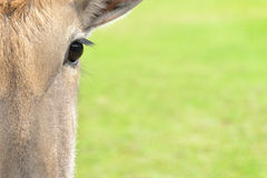 Eland antelope eye close up Stock Photography