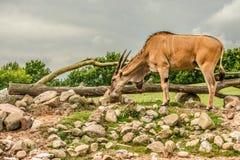 Eland antelope grassing on the savannah Royalty Free Stock Image