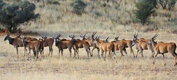 Eland antelope herd. Herd of eland antelope herd in kalahari game reserve Stock Image