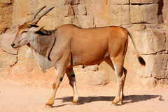 Eland Antelope in a hot environment Royalty Free Stock Image