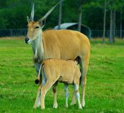 Eland antelope Royalty Free Stock Photography