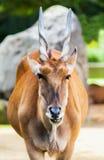 Eland antelope looks Stock Image