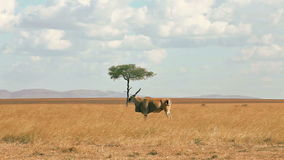 Eland antelope, Masai Mara stock video footage