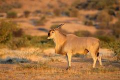 Eland antelope in natural habitat Stock Images