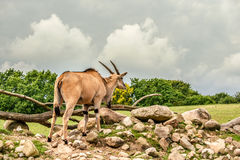 Eland antelope standing in beautiful nature Stock Image