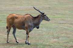 Eland antelope standing in grassland savannah Stock Images