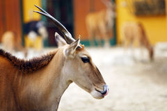 Eland Antelope (Taurotragus oryx) Royalty Free Stock Photo