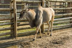 Eland antelope in the Twelve Months zoo Demidiv, Kyiv region royalty free stock photo