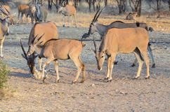 Eland antelopes Stock Photo