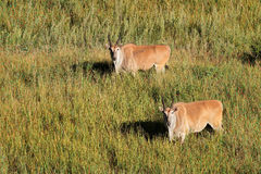 Eland antelopes in grassland Royalty Free Stock Photo