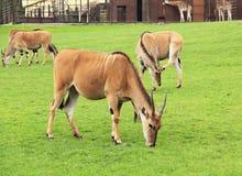 Eland antelopes Royalty Free Stock Images