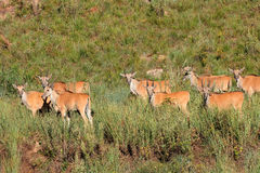 Eland antelopes in natural habitat Stock Photography