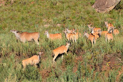 Eland antelopes in natural habitat Stock Photo