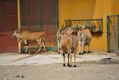 Eland antelopes, or Taurotragus oryx Royalty Free Stock Image