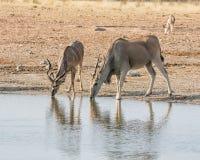 Eland antilop Fotografering för Bildbyråer
